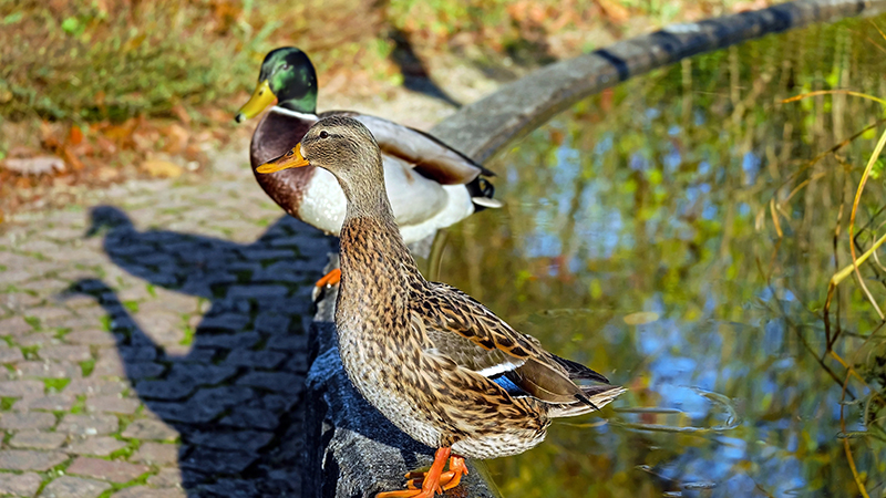 wood-duck-call